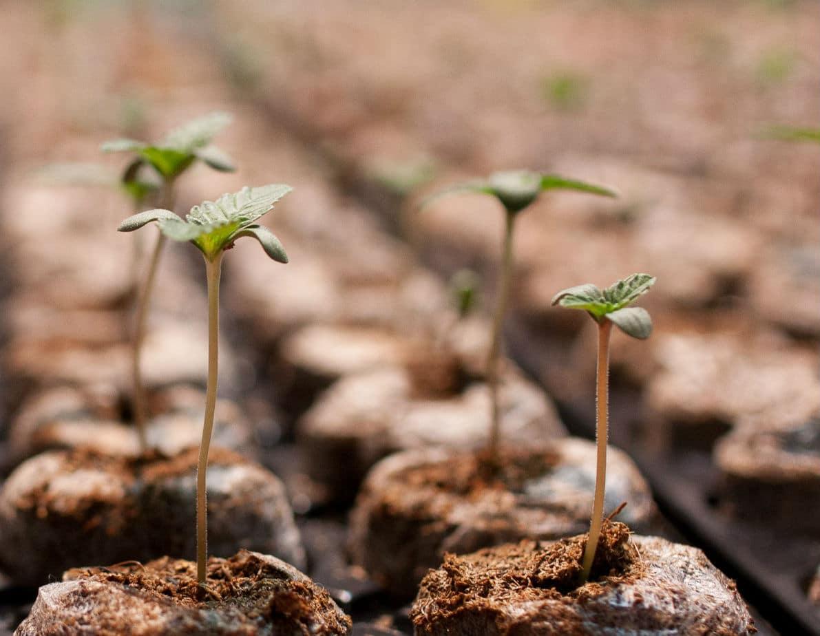 Germination du cannabis : les astuces pour obtenir de belles plantules