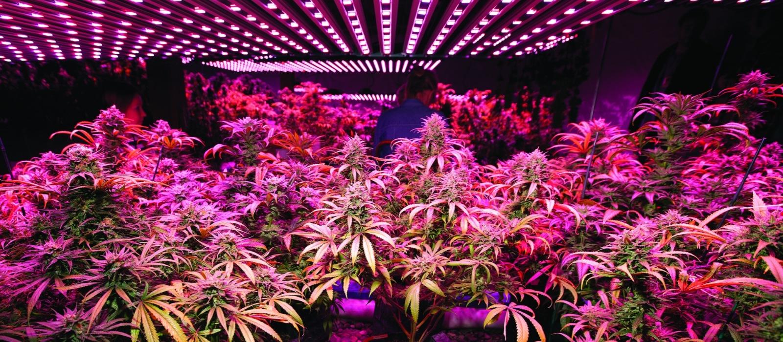 Culture du cannabis indoor : comment choisir la bonne lampe horticole?