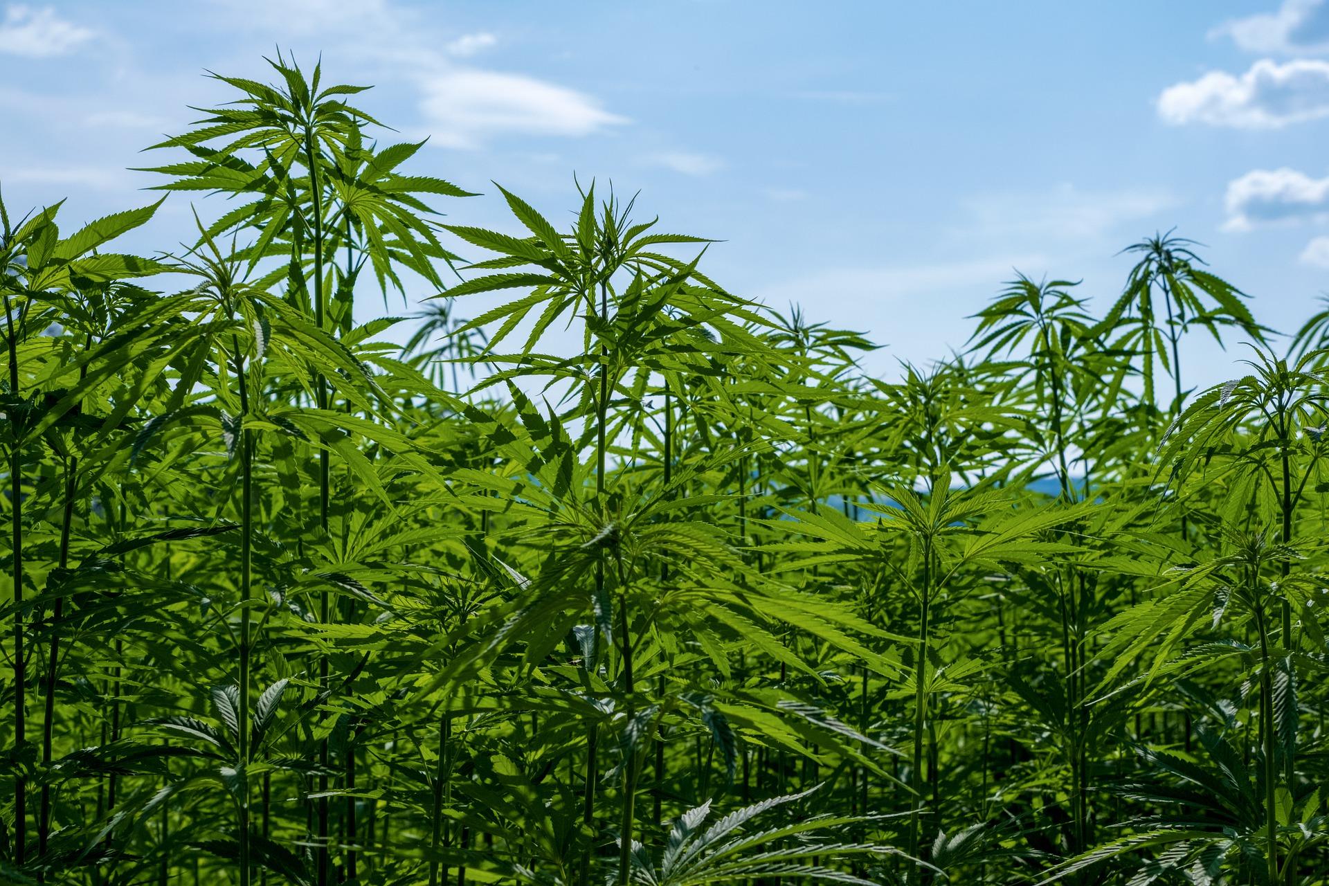 Peut-on cultiver soi-même du cannabis CBD ? Comment faire ?
