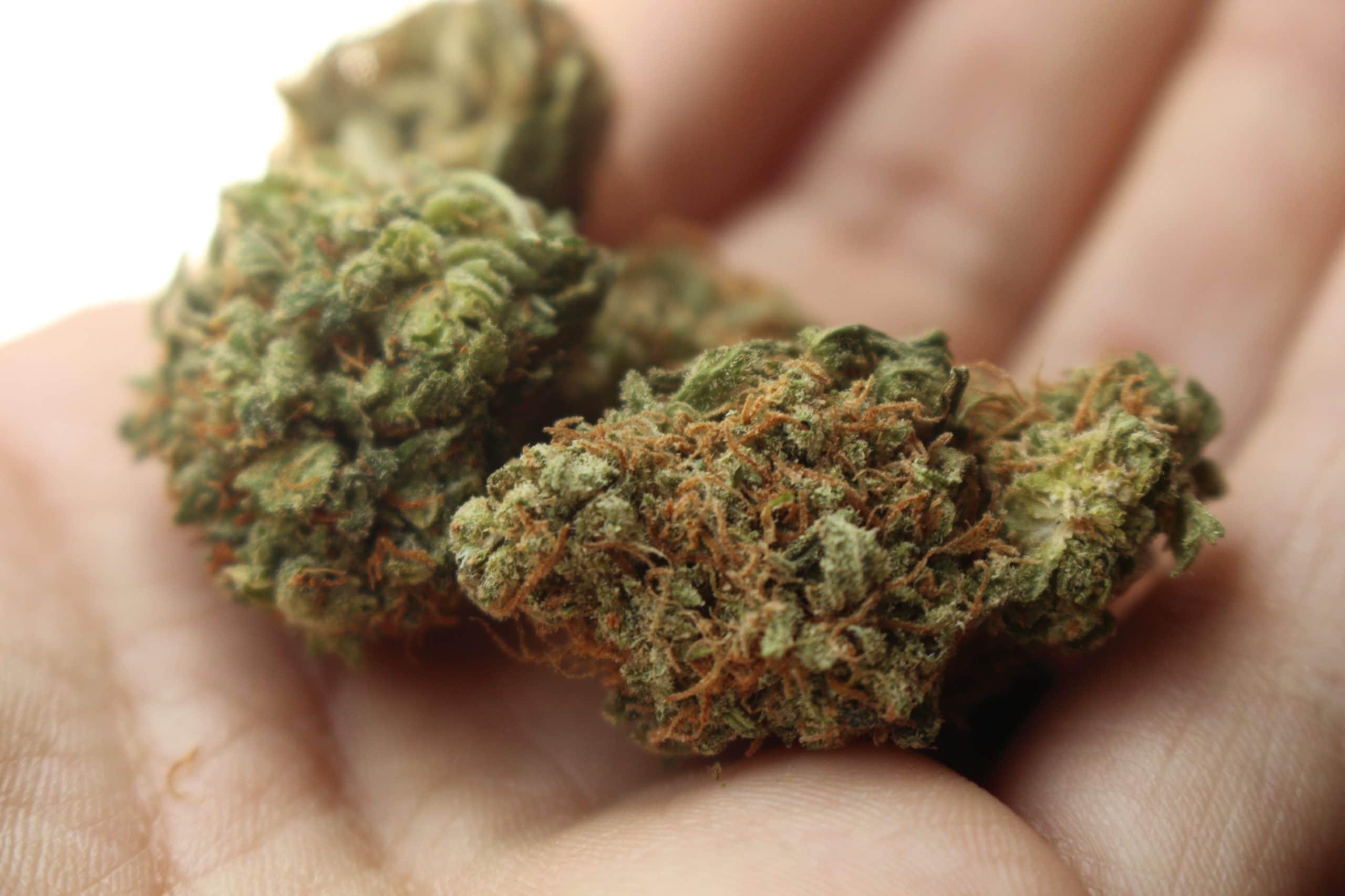 FLOR CBD: flores de cannabis / cânhamo com canabidiol