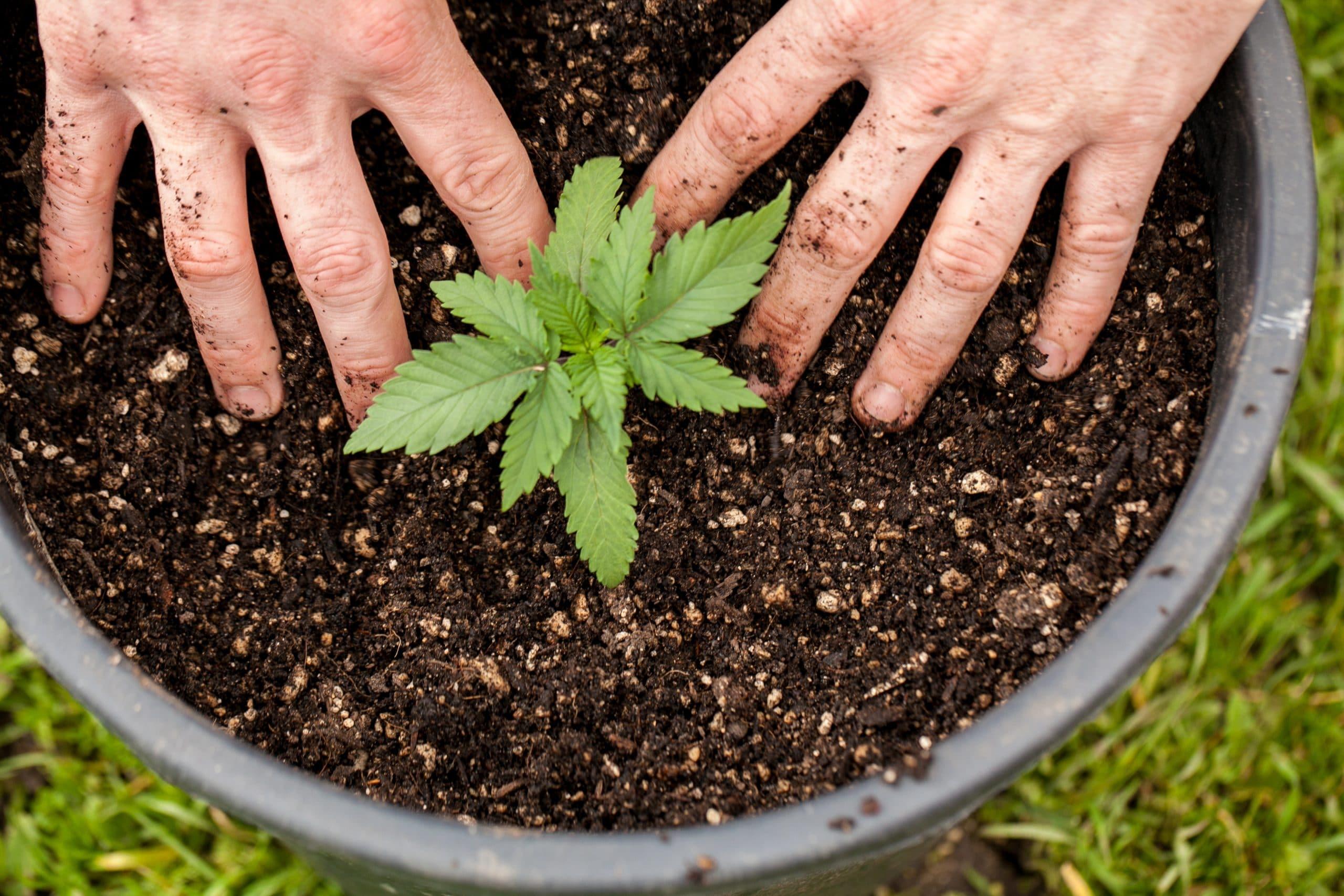"""La période """"végétative"""" de croissance du cannabis"""