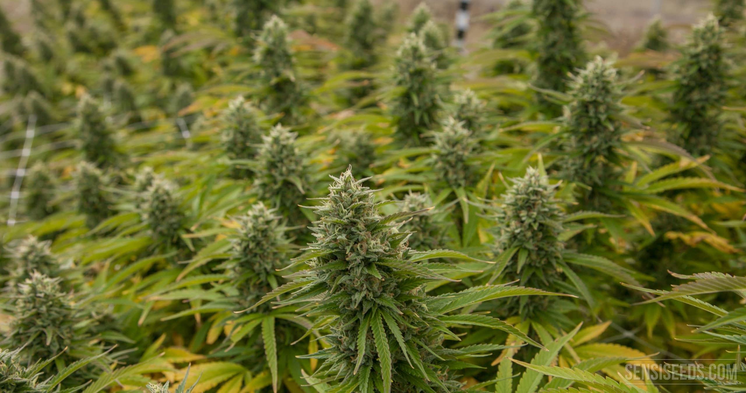 Comment réussir la floraison de son cannabis CBD ?