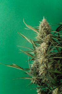 le CBD contre la migraine : une plante utilisée depuis la nuit des temps pour combattre la migraine