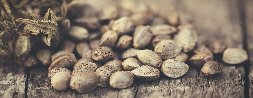 Démystifier les graines àautofloraison